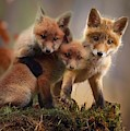 Baby Red Foxes by Fox Art and Photography
