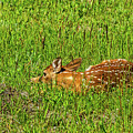 Baby White-tail Deer Trying To Be Invisible by Sue Smith