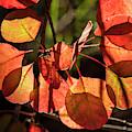 Back-lit Smoketree by Robert Potts
