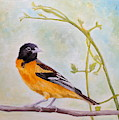 Back Looking Baltimore Oriole by Angeles M Pomata