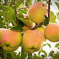 Backyard Garden Series - Apples In Apple Tree by Carol Groenen