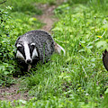 Badger On Wildlife Trail by Arterra Picture Library