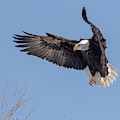 Bald Eagle 2019-13 by Thomas Young