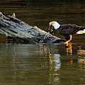 Bald Eagle At The Watering Hole 2 by Jack Peterson