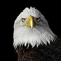 Bald Eagle by Dansphotoart On Flickr