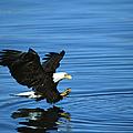 Bald Eagle Haliaeetus Leucocephalus by Tom Vezo/ Minden Pictures