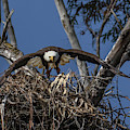 Bald Eagle by Lee Ann Baker