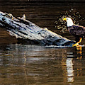 Bald Eagle Shaking Off The Water by Jack Peterson