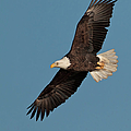 Bald Eagle by Straublund Photography
