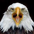 Bald Eagle by Www.galerie-ef.de