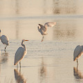 Ballet Of The Egrets by Donald Brown