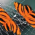 Banded Orange Butterfly. by Karina Knyspel