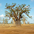 Baobab Trees, West Africa by Mark Duehmig