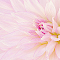 Barely There Dahlia by Mary Jo Allen