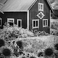 Barn In Summer Sunflowers Black And White by Debra and Dave Vanderlaan