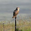 Barn Owl by Pamela Walton
