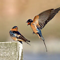 Barn Swallow Conversation by Judi Dressler