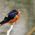 Barn Swallow Nest Building by Randy J Heath