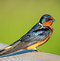 Barn Swallow by Philip Rispin