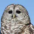 Barred Owl 3 by Chris Scroggins