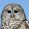 Barred Owl 4 by Chris Scroggins
