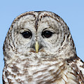 Barred Owl 5 by Chris Scroggins