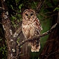 Barred Owl At Dusk by Ronald Lutz