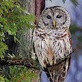 Barred Owl by Debbie Stahre