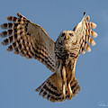 Barred Owl In Flight 0130 by Dan Beauvais