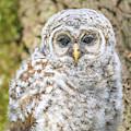 Barred Owlet Portrait by Dan Sproul