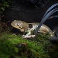 Barred Tiger Salamander by David Millenheft
