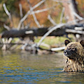 Bathing Blonde Grizzly by Dan Carr