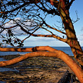 Beachcomber Arbutus by Randy Hall