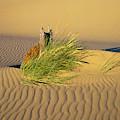 Beachgrass And Ripples by Robert Potts