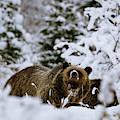 Bear In The Snow by Catherine Avilez