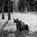 Bear Sitting Alone In The Woods In Yello by Alfred Eisenstaedt