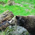 Bear Sleeping On A Rock. by Oscar Williams