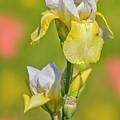 Bearded Iris Garden by Susan Candelario