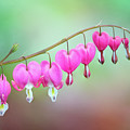 Beautiful Bleeding Hearts by Anita Pollak