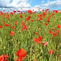 Beautiful Fields Of Red Poppies by Malgorzata Larys