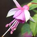 Beautiful Fuchsia by Siobhan Dempsey