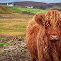 Beautiful Highland Cow