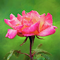 Beautiful Two-tone Rose In The Rain by Anita Pollak