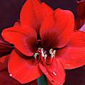 Beautiful Red Amaryllis by Trina Ansel