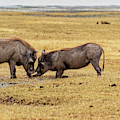 Beauty On The Hoof, The Warthog by Kay Brewer