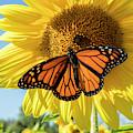 Beauty On The Sunflower by Jon Neidert