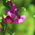 Bee On Royal Purple Texas Ranger Flower by Colleen Cornelius
