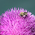 Bee On Thistle by Michael Chatt