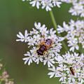 Bee Relaxing On A Flower. by Raymond De la Croix