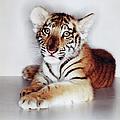 Bengal Tiger Cub Panthera Tigris Tigris by Gk Hart/vicky Hart